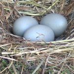 Fake Seagull Eggs in a nest